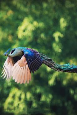 Flying peacock by Captainskyhigh on Flickr.: Peacocks, Animals, Nature, Flying Peacock, Beautiful Birds, Beauty, Photo