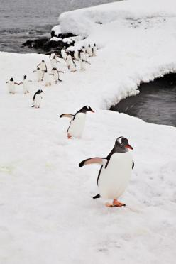 Follow My Lead by Terrini, via Flickr. Pinned from http://www.flickr.com/photos/terrini/6125668850/. #antarctica: Creature, Penguins Penguins, Birds, Penguins 3, Penguins Animals, Penguin March