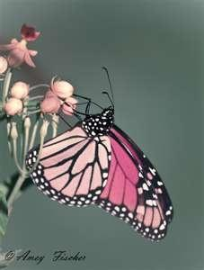 For information on Green / Natural Products, Visit Health.MyShaklee.com: Colorful Creatures, Pink Butterfly, Animales Mariposas, Butterfly Mariposas, Flutterby, Butterflys Flying