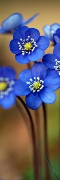 forget me not? One of my fav garden flowers.: Blue Flowers, Beautiful Blue, Color, Beautiful Flowers, Forget Me Not, Flowers, Forgetmenot, Garden