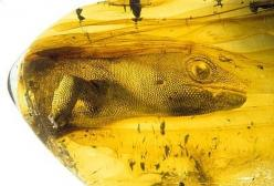 "fossilporn: ""The extinct gekko Yantarogekko balticus in 44 million year old baltic amber. While most people think of insects preserved in amber in very rare instances larger animals including small...: Baltic Amber, Fossils Amber, Fossilia Fossils, Fossil"