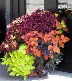 Four varieties of coleus pair beautifully with chartreuse and black sweet potato vine. Love these colors together.: Garden Container, Green Thumb, Container Gardens, Potted Plants, Sweet Potato Vines, Container Idea, Container Gardening