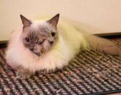 Frank & Louie, the longest-living Janus cat.  He has two faces, two mouths, and three eyes.  He seems to be healthy and happy, too.: Cats, Animals, Faced Cat, 12 Year, Cat Born, Chimera Cat