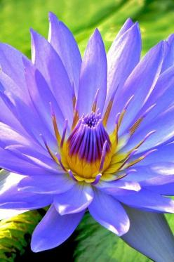 Fresh Blue waterlily: Lotus, Beautifulflower, Beautiful Flowers, Water Lily, Garden, Water Lilies, Fresh Blue