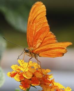 ~~ Friday flower power ~ orange butterfly by neurodoc2010~~: Beautiful Butterflies, Orange Flower, Friday Flower, Lantana, Beautiful Flowers, Flower Power, Butterflies Moth