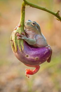 ~~frog with terong by Hendy Mp~~WHITE'S TREE FROG!: Photos, Animals Frogs, Nature, Froggy, Amphibians