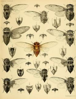 from biodivlibrary here's the high res version http://www.flickr.com/photos/biodivlibrary/9217408878/sizes/o/: Natural History, Oriental Cicadidæ, Botanical Drawings, Art, Bug Illustration, Insect Drawing, Book Illustration