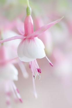 fuchsias - I so enjoy these plants, also know as ladies' earrings.  The color on this example is exquisite.: Pink Flowers, Tiny Ballerina, Fuschia Pink, Beautiful Flowers, Pink Fuchsia, Garden, Flower