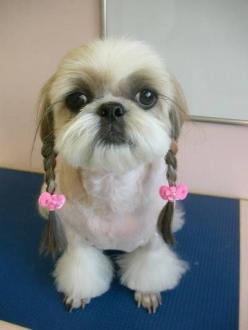 funny-dog-grooming-funny-dog-grooming-pictures-dog-grooming-funny-4: Animals, Puppies, Dogs, Pets, Funny, Shihtzu, Puppy, Shih Tzu, Hair