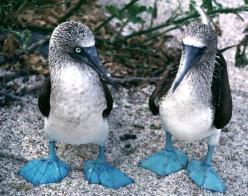 Galapagos Islands (starring the blue footed booby!): Bucket List, Animals, Blue Footed Booby, Galapagos Islands, Things, Blue Feet, Birds