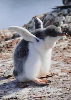 Gentoo Penguin.  (KO) Sorry junior, you're never gonna get it off the ground. | Its soooooooo cute!!!: Babies, Adorable Penguin, Animals Penguin, Baby Penguins, Baby Dieren, Adorable Animal
