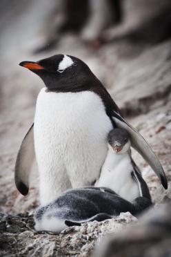 Gentoo penguin mother and chick in antarctica.: Birds Penguins, Animal Penguins Puffins, Chick, Mothers, Animals Penguins, Photo, Animals Birds Insects Critters