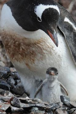 Gentoo Penguins - parent and a cute little hatchling. One of my favorite species.: Animals Mother, Animal Penguins Puffins, Animal Photography, Animales Pingüinos, Zoo Pingüinos, Baby Animals