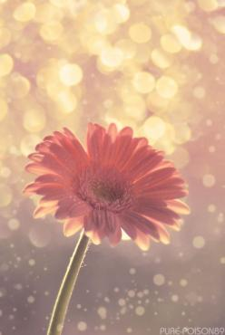Gerber daisy... Favorite!: Beautiful Flower, Gerber Daisies, Gerber Daisy, Pink, Flowers, Pretty, Garden, Gerbera, Favorite Flower