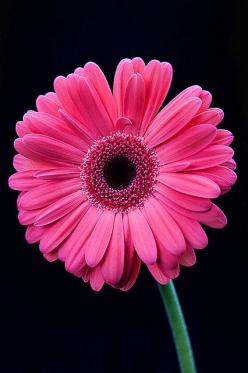 Gerbera Daisy: Gerbera Daisy Flower, Flowers Photography, Favorite Flowers, Gerbera Daisie, Daisy Fav Flower, Beautiful Flowers, Daisy Beautiful