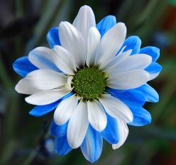 Gerbera Daisy~ I need to have a garden full of these. My fave flower.: Color, Blue, Daisies, Beautiful Flowers, Daisy, Flowers, Garden
