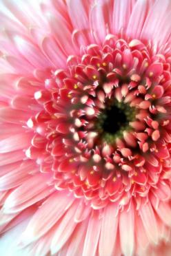 Gerbera Daisy. This is my flower I'll have at my wedding: Pink Flowers, Gerbera Daisies, Nature, Color, Beautiful Flowers, Beauty, Garden