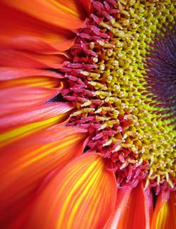 gerbera. Orange combined with yellows, fuchsia and soft pink.: Colour, Inspiration, Colors, Sunflowers, Beautiful Flowers, Close Up Flower, Garden, Photo