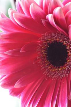 Gerbera - perfect for pretty pots on the deck or stairs just remember to over winter in home.: Pink Flowers, Favorite Flowers, Fav Flowers, Decks, Beautiful Flowers, Flower Gardens, Pink Gerbera, Flowers Garden, Flowers Beautiful