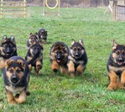 German Shepherds on the run for dinner and mommy love u guys www.capemaudogs.com: Animals, German Shepards, Puppies, Dogs, Pet, Puppys, German Shepherds, Gsd