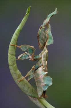 Ghost mantis. Photo: Cathy Keifer: Insects Mantis, Animals, Google, Mantis Insects, Ghost Mantis, Ghosts, Creatures, Bugs Insects