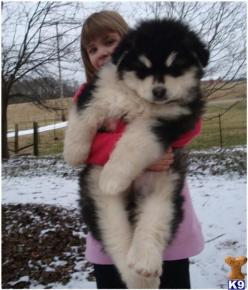 giant alaskan malamute; omg is this a puppyyy?! WANT. I have one like that... Weighs 115 pounds and my other weighs 110 I think hehe :): Pet, Alaskan Malamute Puppies, Giant Alaskan Malamute, Alaskan Malamutes, Big Dogs, Friend, Animal