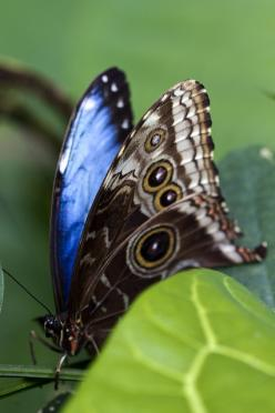 Giant Blue Morpho (Morpho didius - semi-closed wings) is a Neotropical butterfly belonging to the Nymphalidae family, Morphinae subfamily.: Beautiful Butterflies, Butterflies Dragonflies Moths, And Or Insects, Butterflies Mariposas, Butterfly Mariposas, B