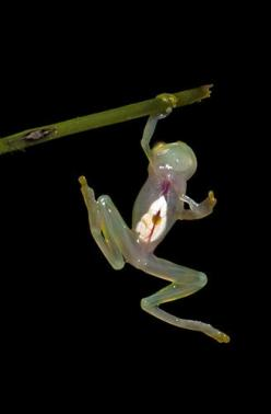 Glass Frog    The incredible sight of the glass frog – whose transparent abdominal area allows you to see its internal organs. A team of American and Ecuadorian scientists working for Reptile and Amphibian Ecology International discovered a treasure trove