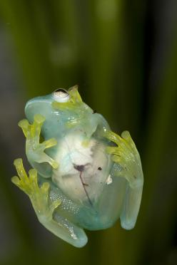 Glass frogs have such transparent skin that you can see their organs. (Photo by Mehgan Murphy, Smithsonian's National Zoo): Glasses, Cristal Centrolenidae, Frogs Toadthings, Frogs Garden Snakes Turtles, Animals Reptiles Organisms, Crystal