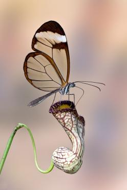 Glasswing Butterfly on Duchman's Pipe Vine: Beautiful Butterflies, Animals, Photo, Dragonflies