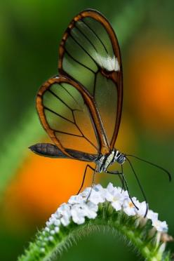 Glasswinged Butterfly | Amazing Pictures - Amazing Pictures, Images, Photography from Travels All Aronud the World: Nature, Glasswinged Butterfly, Photo, Animal