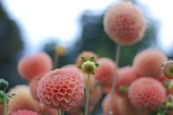Globe dhalia #flora #flowers pinterest.com/nasti: Nature, Color, Pompom, Beautiful, Pink Dahlias, Flowers, Pom Pom, Garden, Photo