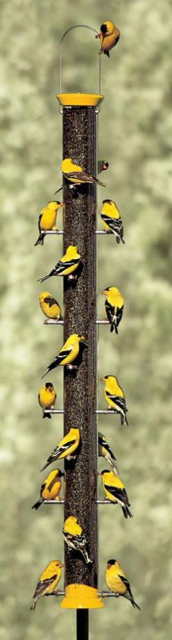 Gold Finches Gloriously Galore!!!!: Gold Finch, American Goldfinch, Birds, Yellow Finch