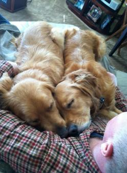 Golden blanket...awwww....: Animals, Sweet, Golden Retrievers, Lap Dogs, Goldens Rule, Golden Blanket, Friend