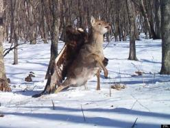 Golden Eagle attacking deer caught on trail cam trap in Russia - Golden eagles can have up to 7.5' wing spans. This is crazy!: Photos, Animals, Golden Eagle, Eagles, Sika Deer, Cameras