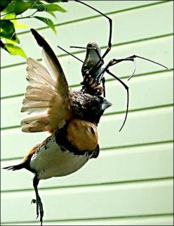 Golden Orb Weaver spider eating a Chestnut-breasted Mannikin finch.  I always wanted to go to Australia...not so much anymore.: Animals, Spider Eating, Arachnid, Bugs Spiders, Golden Orb, Eating Spider, Birds