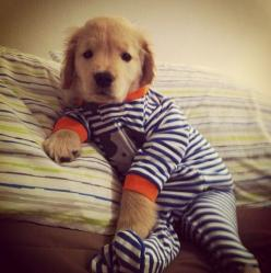 Golden retriever puppy in footy pajamas! Does it get any cuter than this? Omg!: Animals, Dogs, Golden Retrievers, Pet, Puppys, Pjs, Adorable, Baby