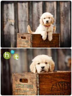 Golden Retriever Puppy. {Pet Photography} HBT photo blog. www.hbtphoto.com. {Portraits} {Dog} {Photo Session Ideas} {Puppies}: Photography Pet, Pet Photography Ideas, Dog Photography Ideas, Puppy Photography Ideas, Pets, Dog Photos Ideas, Dog Photo Ideas,