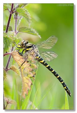 Golden ringed dragonfly. Photograph by David Pratt: Butterflies Dragonflies, Butterfly, Dragonflies Butterflies, Ringed Dragonfly, Dragonfly Tiny, Dragonfly Spirit, Nature Photography, Dragonflies Damselfly