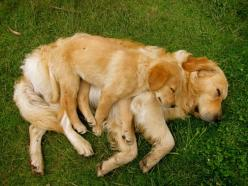 Goldens being golden  Love it! #GoldenRetriever #Puppy: Animals, Dogs, Sweet, Golden Retrievers, Pet, Puppy, Baby, Friend