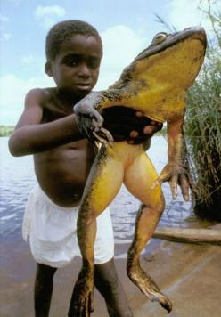 Goliath frog (Conraua goliath) is the largest living frog on Earth. It is found only in Equatorial Guinea and Cameroon, south from the basin of the Sanaga River to the Benito, Wolo and Mbini Rivers: Animals, Nature, Frog Legs, Bullfrog, Frogs, Boy