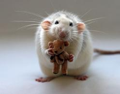 Google Image Result for http://thedesigninspiration.com/wp-content/uploads/2009/09/cute-animals/baby01.jpg: Cute Baby Animals, Teddybear, Stuff, Teddy Bears, Pet Rats, Pets, Cute Rats, Cute Babies, Photo