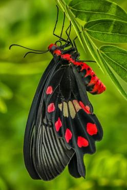Gorgeous Black & Red Butterfly: Beautiful Butterflies, Strong Color, Flutterby, Animal