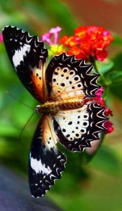 Gorgeous butterfly: Beautiful Butterflies, Butterflies Dragonflies Moths, Butterfly, Flutterby
