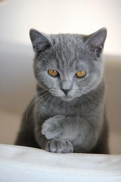 Gorgeous Chartruex, the official cat of France. Known for their sweet, playful personalities.: Cats, Grey Cat, Kitten, Kitty Cat, Gray Cat, Pet, Kitty Kitty, Eye, Animal