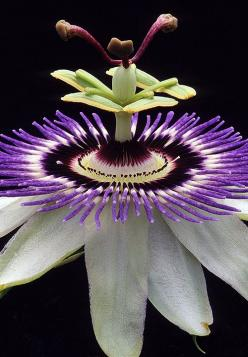 Gorgeous Passion Flower photography by Warren Krupsaw-- Butterflies love passion flowers.: Flor De, Warren Krupsaw, Beautiful Flowers, Garden, Flower Photography, Passion Flowers, Favorite Flower