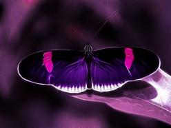 Gorgeous.    Purple Passion, Purple & Pink Fractalius Filter Butterfly by Beverly & Pack.: Beautiful Butterflies, Purple Butterfly, Purple Passion, Flutterby, Color Purple, Moth, Photo