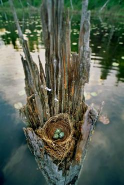 Gorgeous!   Water logged tree stump cradling a nest with three blue eggs. #birdsnest #blueeggs: Birdhouses, Birdnests, Jim Brandenburg, Blue Eggs, Birds Eggs, Birds Nests, Birdsnest Blueeggs, Bird Nests