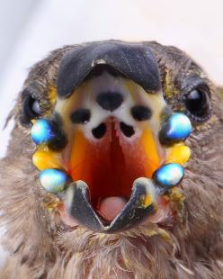 Gouldian finch chicks are equipped with blue phosphorescent beads along their mouths, making it easy for the parents to feed them in the darkness of the nest cavity!: Parents, Phosphorescent Beads, Blue Phosphorescent, Finch Chicks, Beautiful Birds, Mouth