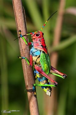 grasshopper  colored exquisitely as though trying out every colour in a brand new box of crayons!!: Animals, Nature, Bugs, Colorful, Colors, Rainbows, Beautiful, Insects